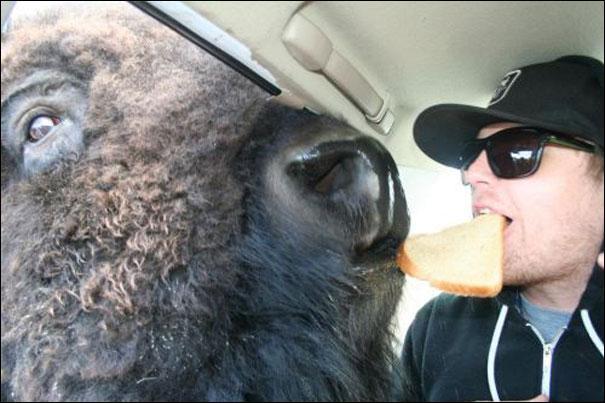 On reconnaît bien le museau d'un bison !