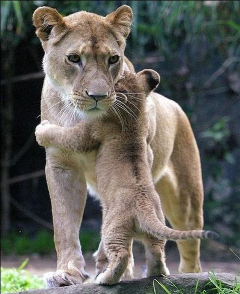 Sur cette photo, on peut voir l'amour d'une maman puma pour son petit !