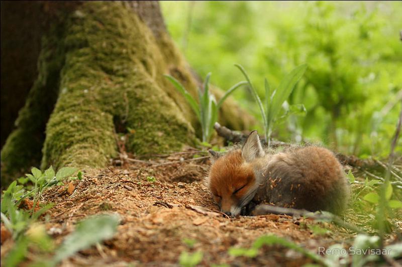 On peut voir des renards roux en Australie !