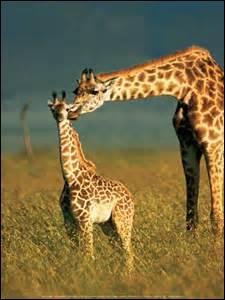 Combien de temps environ vit une girafe ?
