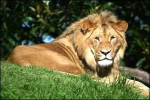Où vit un lion ?