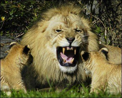 Que mange un lion ?