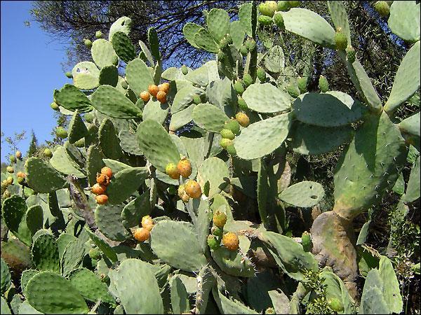 Pays d'origine de cette plante, où le mot barbarie ne concerne pas que les figuiers, qui eux ne figurent pas au menu des arènes !