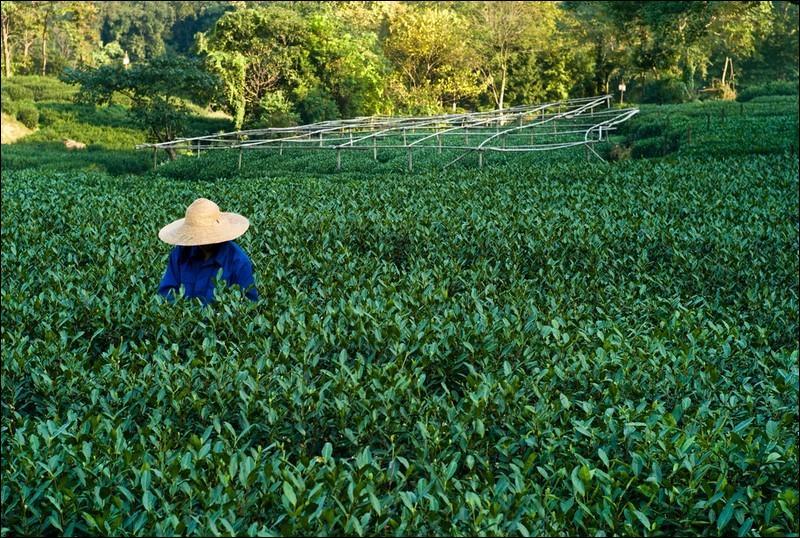Vert ou pas, il est très cultivé dans ce pays, et trouver la réponse ne casse pas trois pattes à un canard ... mandarin !