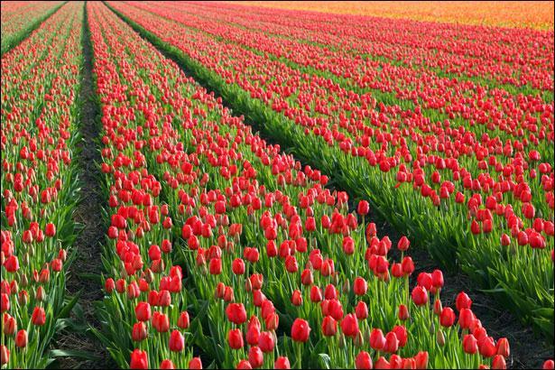 Très étonnamment, Fanfan, ce héros, n'est pas né dans cette région, pourtant cette fleur y est abondamment cultivée !