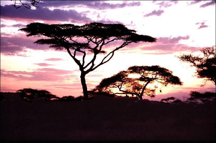 Attaquée par des mammifères au long cou, cette espèce d'arbre, l'acacia, a fait alliance avec des fourmis qui la protègent, alors piquez-vous de connaître la réponse !
