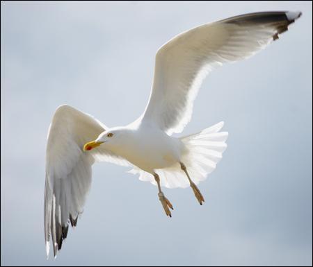 Faites attention, cet oiseau pourrait vous foncer dessus pour récupérer gâteau ou sandwich que vous avez en main !