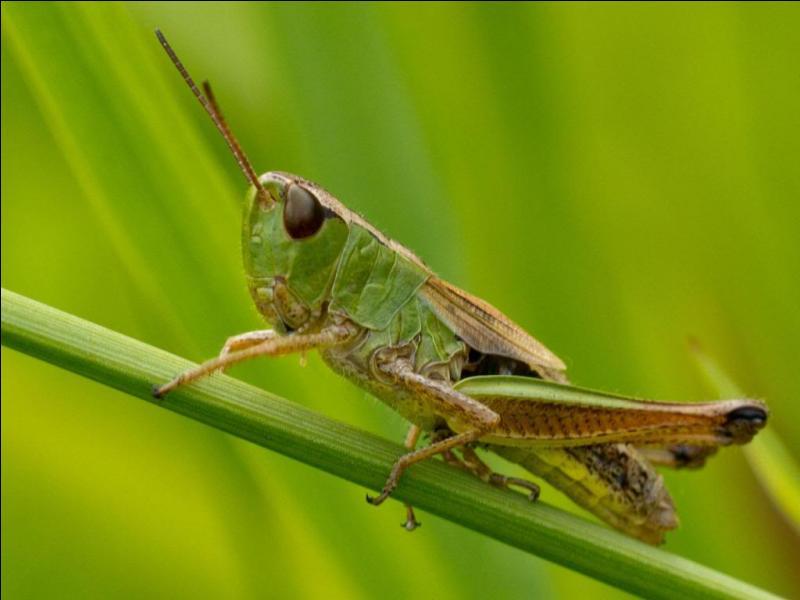 On les voit bondir partout lorsqu'on marche dans les champs. Mais quel est cet insecte ?