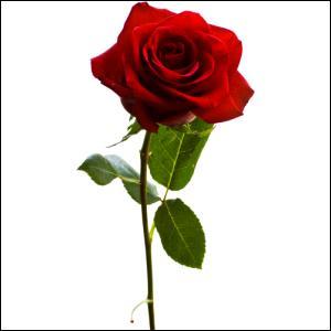 D'où vient cette rose rouge ?