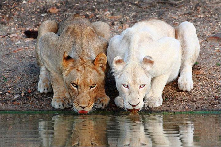 Comme tu peux le voir sur la photo, il y a deux pumas dont un albinos !