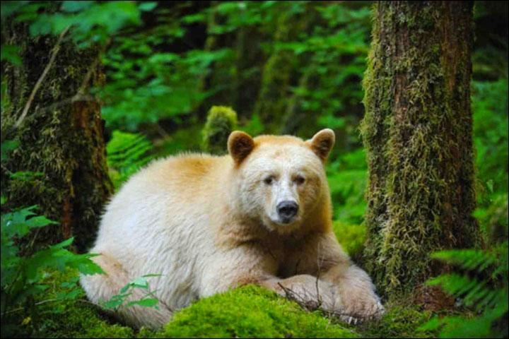 Cet ours n'est pas albinos, en fait c'est un ours noir dont quelques uns seulement ont cette couleur, on ne le trouve que dans une seule région du monde, la Colombie britannique, on l'appelle ...