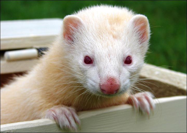 Il est assez fréquent de voir des albinos dans cette espèce, connais-tu le nom de cet animal ?