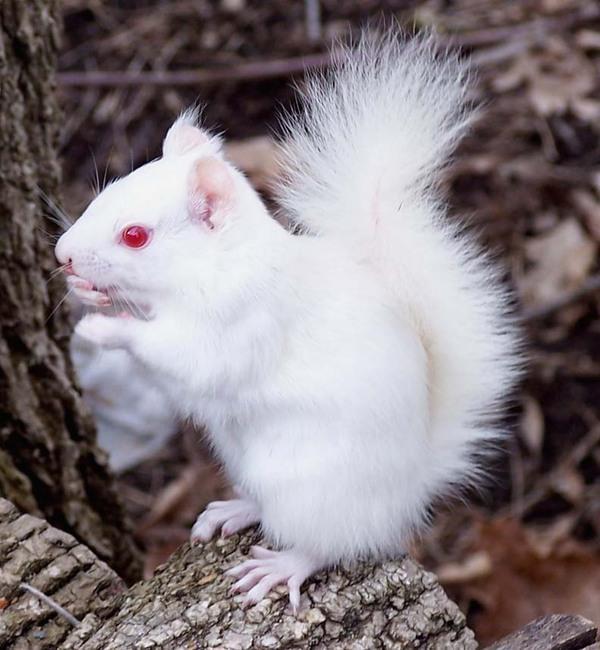 Blanc ou albinos