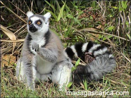 Quel est cet animal, vivant exclusivement en madagascar ?