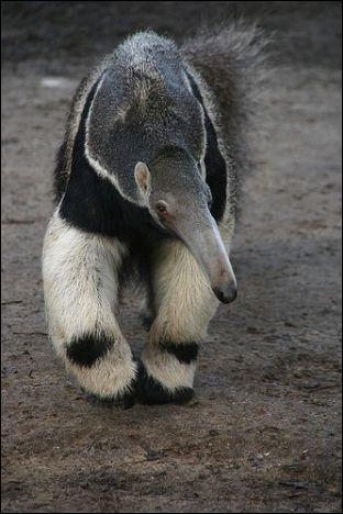 Quel est cet animal, appartenant à l'un des plus anciens groupes de mammifères ?