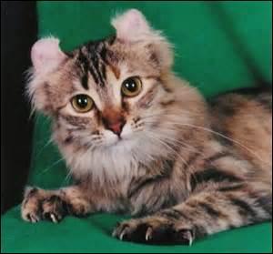 Ses oreilles sont courbées vers l'arrière. Quelle est la race de ce chat ?