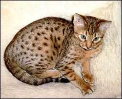 Il est originaire des Amériques. Quelle est la race de ce chat ?