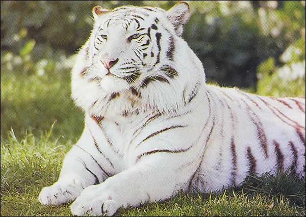 Longtemps les origines du tigre blanc étaient un mystère, maintenant on sait que :