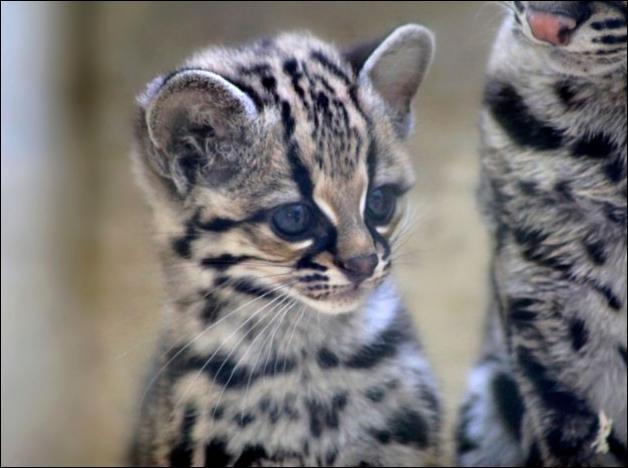Le margay, dit aussi chat-tigre, est connu pour avoir des portées composées de...