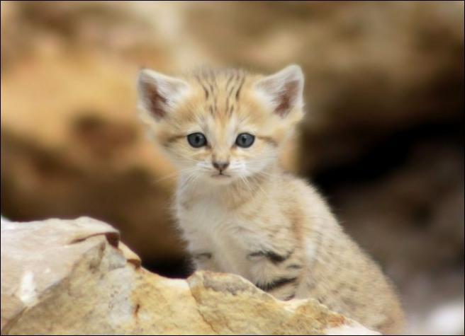 Ce mignon petit félin vivant dans les zones désertique d'Afrique n'est pas un chat ordinaire, il est appelé...
