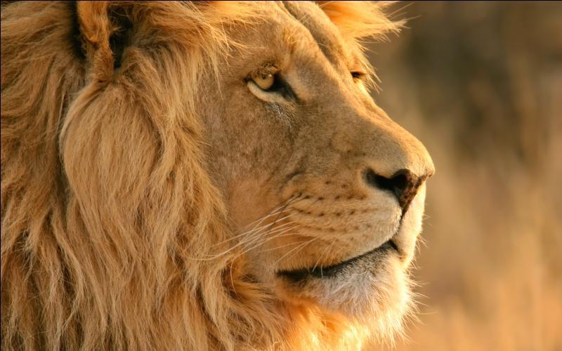 """Commençons par le lion """"le roi de animaux"""". D'ailleurs d'où lui vient ce surnom?"""