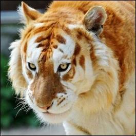 Le tigre Doré, dont on ne dénombre pas plus d'une trentaine en captivité, est le descendant de quelle espèce de tigre ?