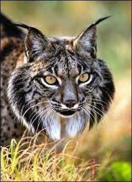 Le lynx, félin qui se fait rare et discret est doté d'un épais pelage de couleur plutôt sable ou gris avec des tâches plus foncées, qui en hiver...