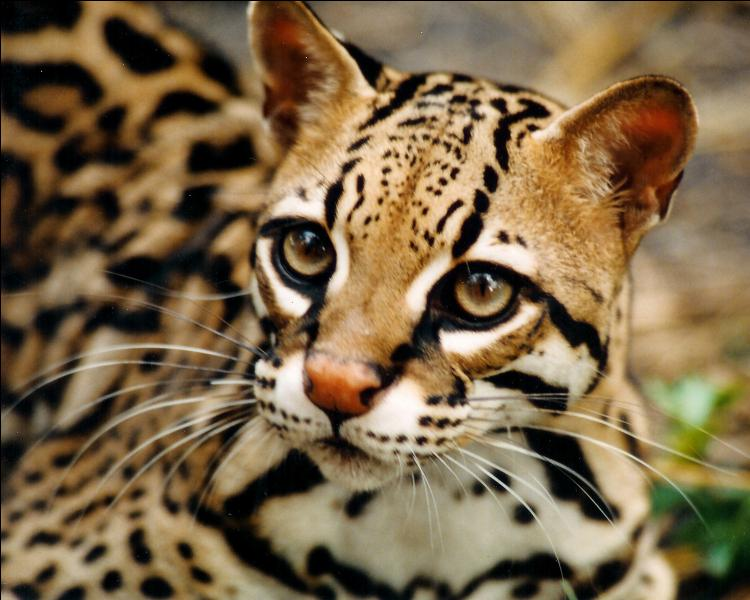 L'ocelot, ce petit carnivore tacheté vivant dans différentes forêts tropicales, a pour particularité...