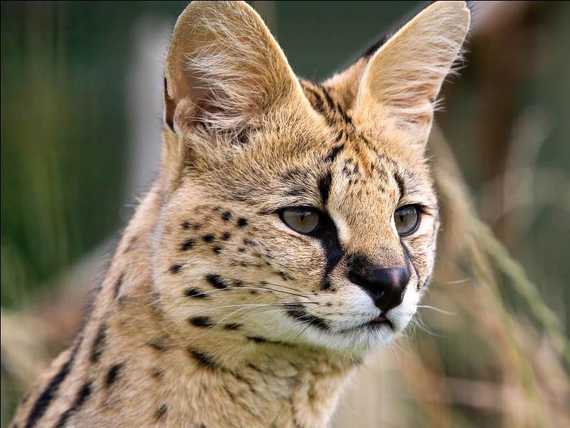 Il vit en Afrique, il a un corps élancé, des oreilles arrondies, il préfère chasser des proies de petites tailles, c'est le...