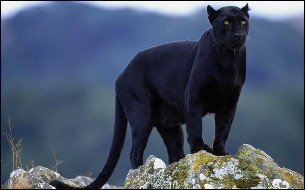 La panthère noire est considérée comme...