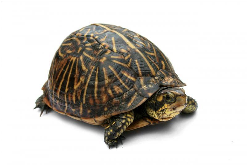 À qui ressemble cette tortue ? (Plusieurs réponses)