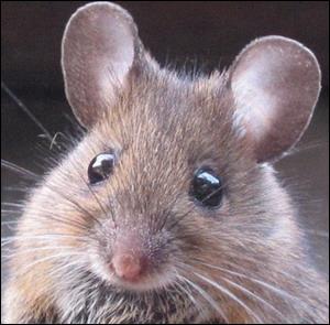 À qui vous fait penser cette mignonne petite souris ? (Plusieurs réponses)