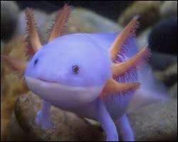 À qui ressemble cet animal, vivant dans les lacs Xochimilco et Chalco ?