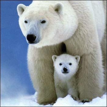 À qui ressemble cette mignonne famille d'ours polaire ?