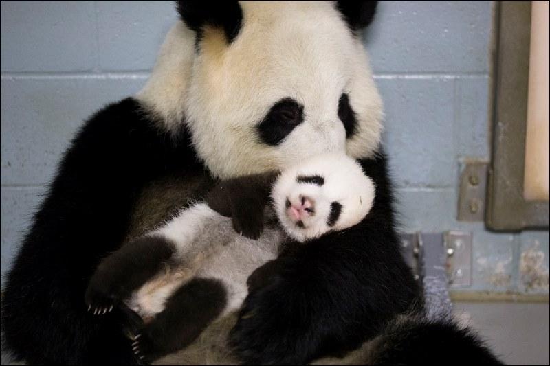 Et cette famille de panda ?