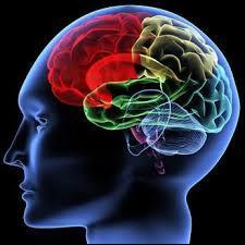 Le cerveau est un organe se trouvant dans ...