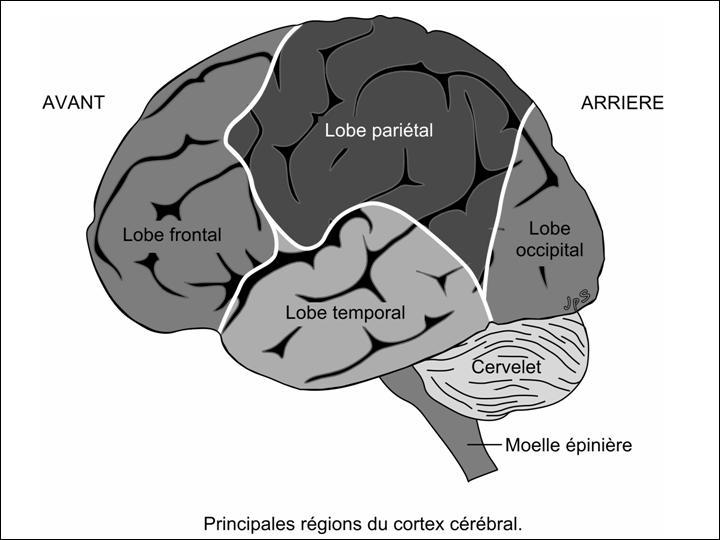 Dans quelle zone du cerveau le centre visuel se trouve-t-il ?