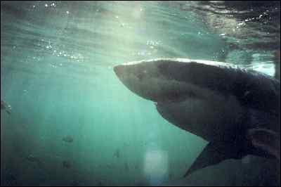 Comment est le grand requin dans un film de Jacques-Yves Cousteau ?