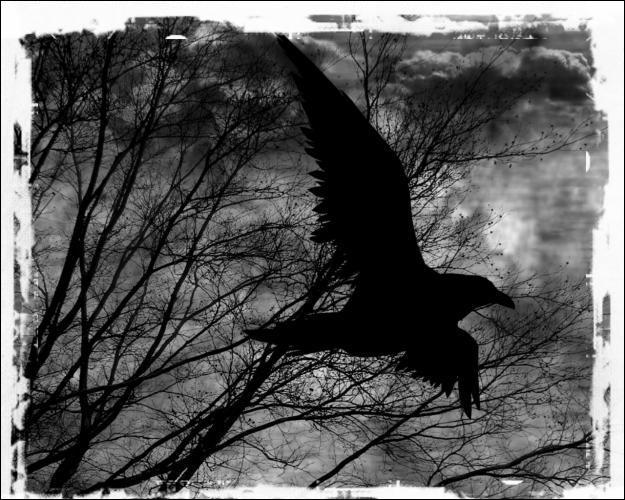 Quelle était la couleur du corbeau dans une chanson de Johnny Hallyday ?