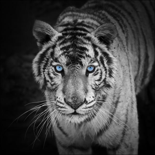 Comment est le tigre de l'Euphrate, dans un livre de Laurent Gaudé ?