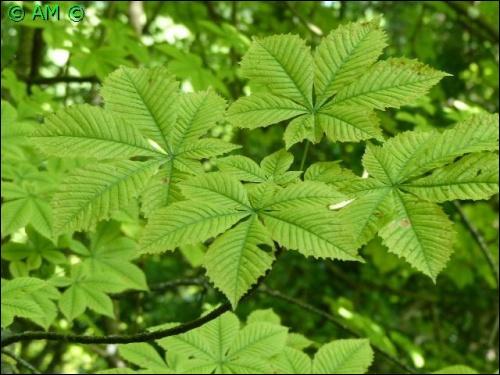 Quizz les arbres les plus communs de nos for ts quiz arbres - Plante longue feuille pointue ...