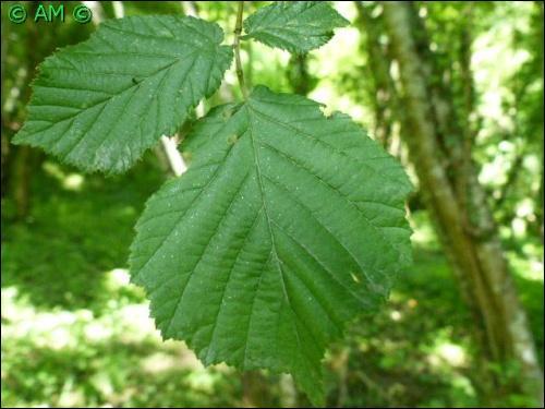 quizz les arbres les plus communs de nos forêts - quiz arbres
