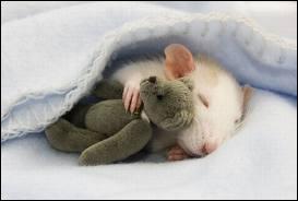 Quel est le petit du rat ?