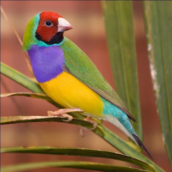 Quel est le nom de cet oiseau endémique d'Australie ?
