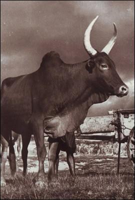 Ce bovidé domestique ne vit pas que sur Madagascar, mais il occupe néanmoins une place importante dans la vie des Malgaches. Il s'agit du :