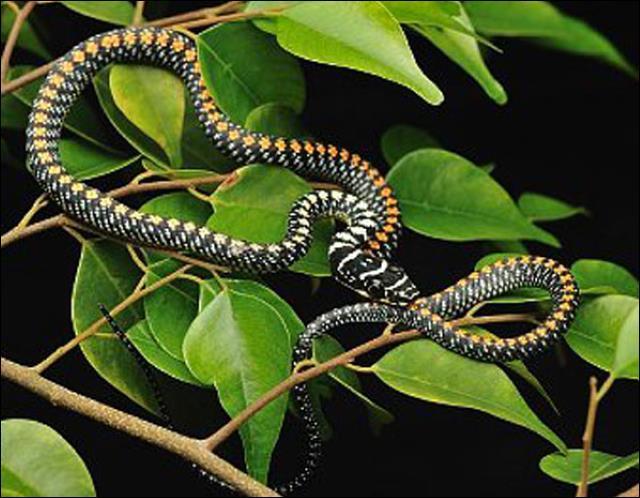Certains serpent sont-ils capables de planner ?