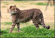 Sur la terre ferme, quel est l'animal le plus rapide au monde ?