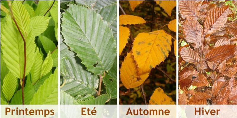 M pour des feuilles qui ne tomberont qu'au moment où pousseront les nouveaux bourgeons.