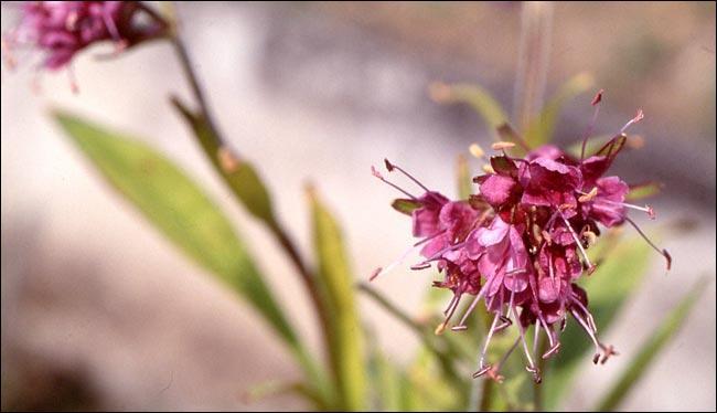 N pour un vieux parfum oriental, envoûtant, ambré, extrait des rhizomes de la plante du même nom.