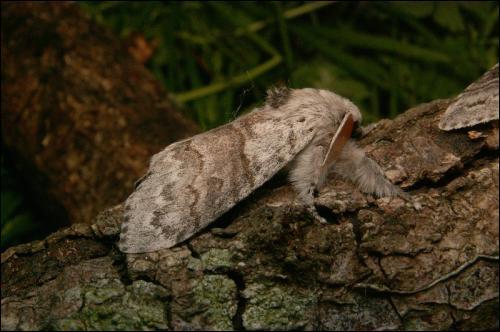 P comme d'une grande vertu, affectant l'innocence, mais aussi papillon nocturne.